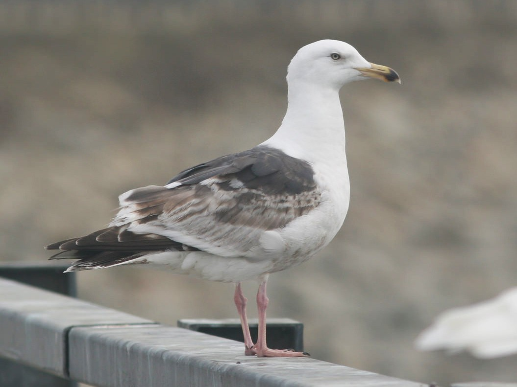 Slaty-backed Gull - eBird