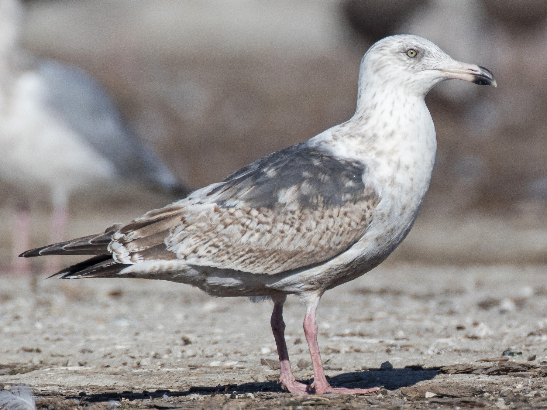 Slaty-backed Gull - Blake Matheson