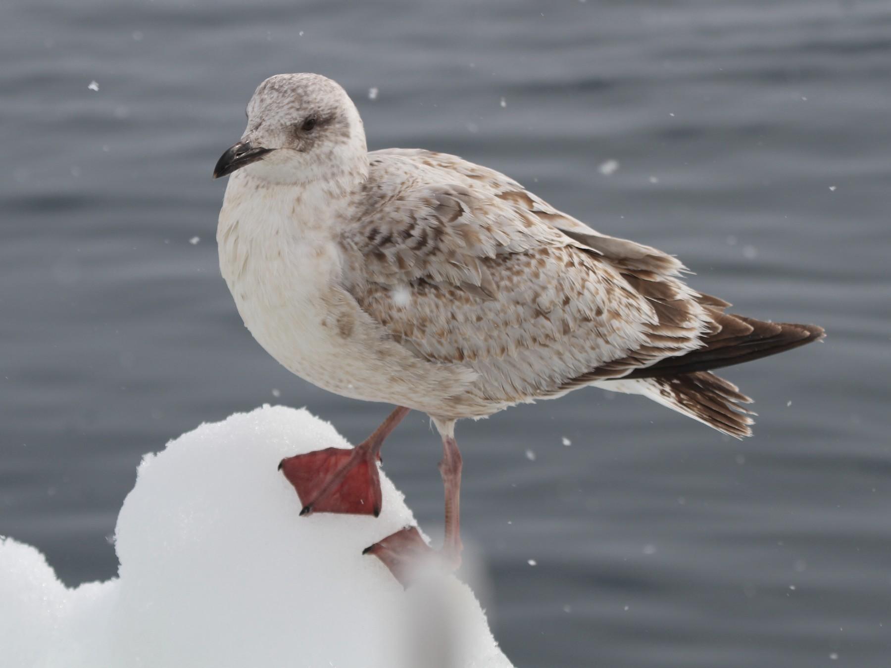 Slaty-backed Gull - Pam Rasmussen
