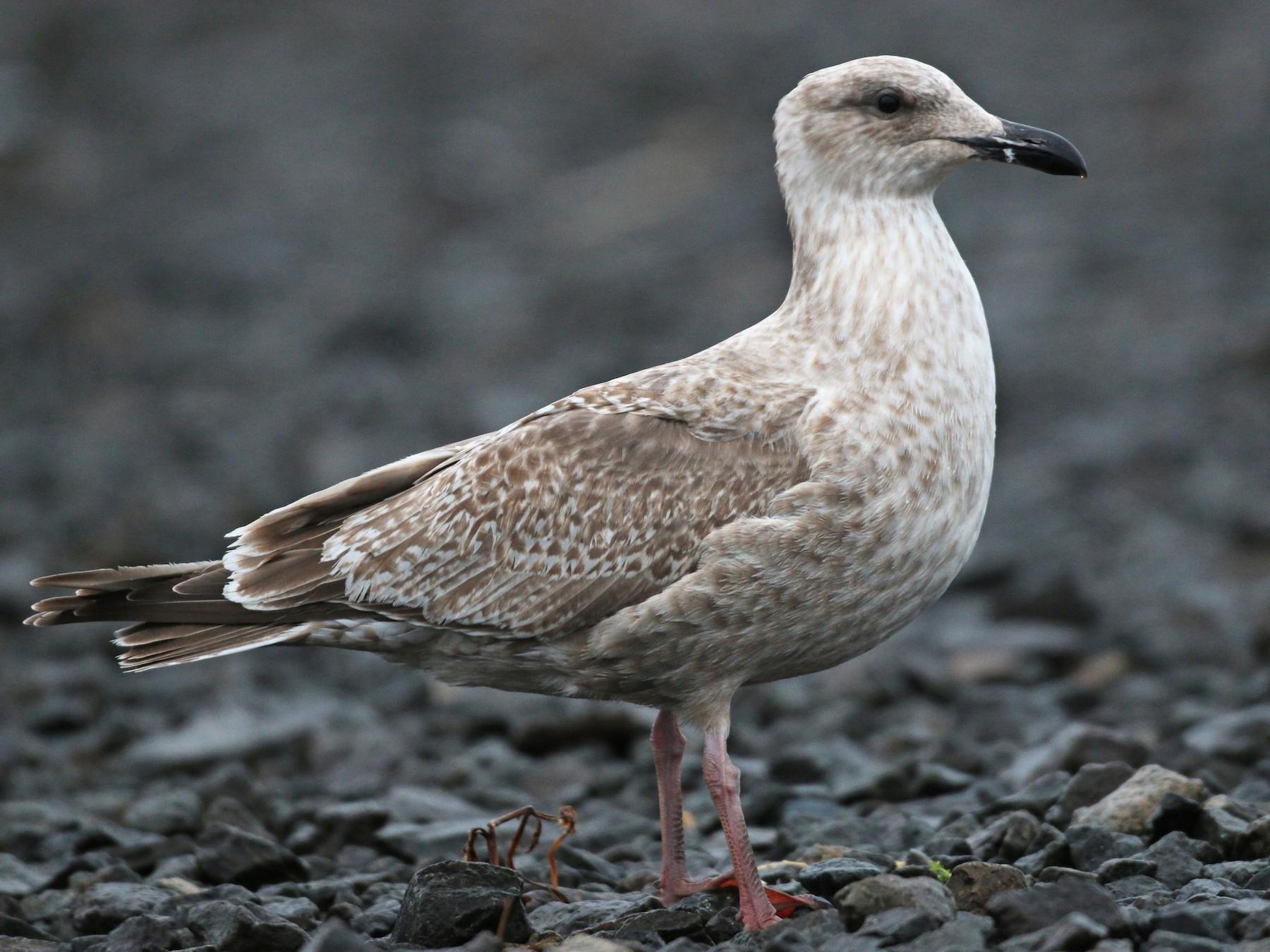 Slaty-backed Gull - Ian Davies