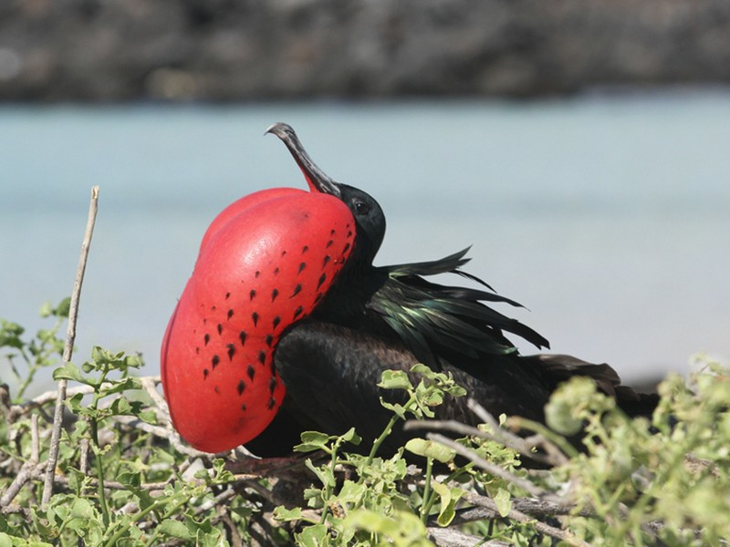 Great Frigatebird - Jeremiah Trimble