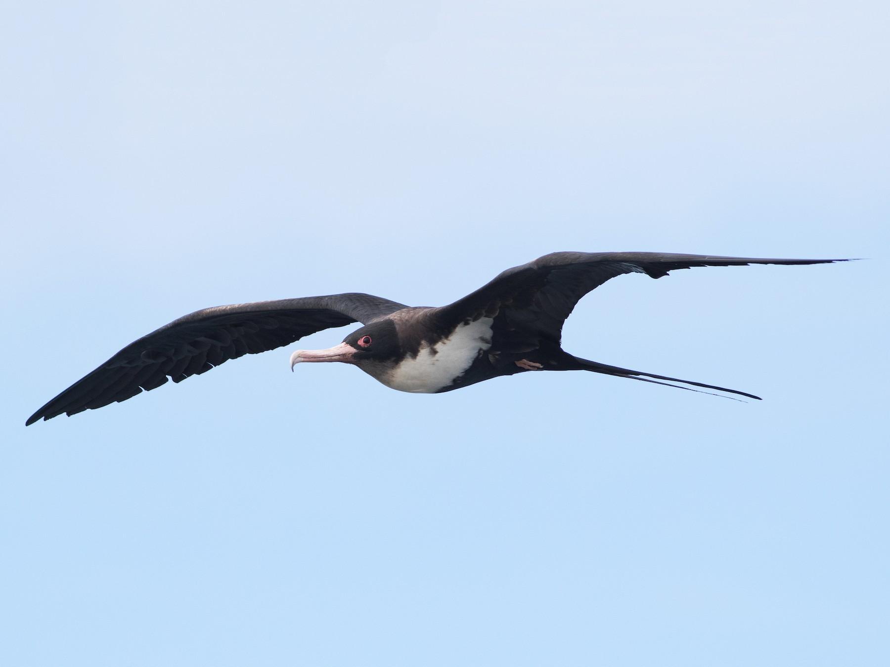 Great Frigatebird - Lucas Bobay