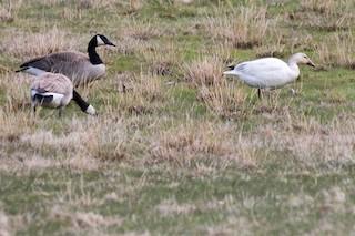 Snow Goose, ML97667711