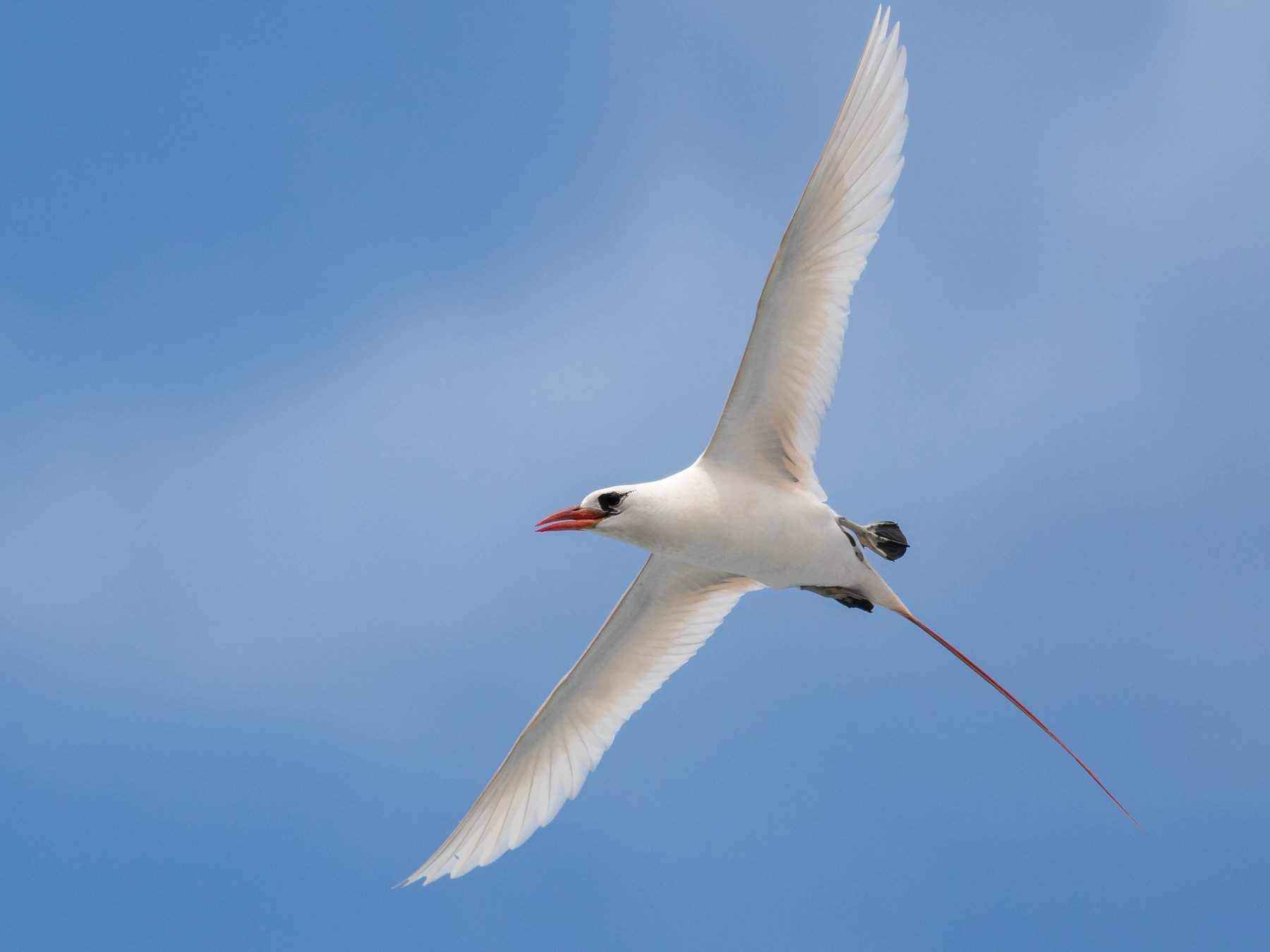 Red-tailed Tropicbird - Noah Frade