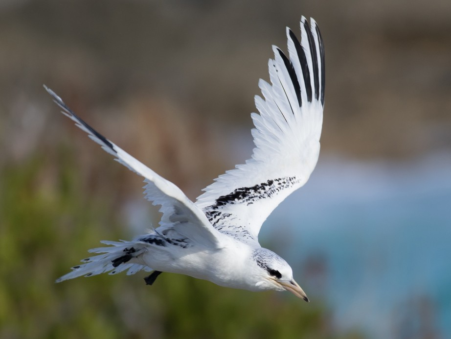 White-tailed Tropicbird - Tom Johnson