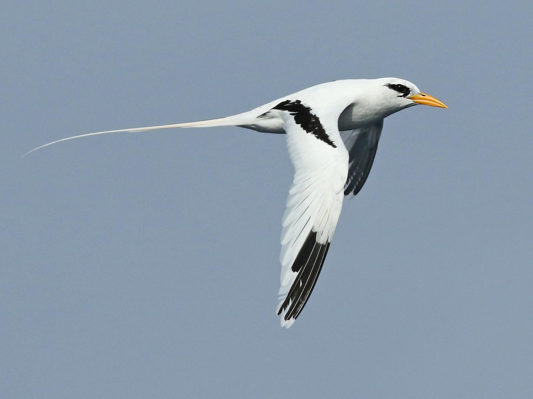 White-tailed Tropicbird - Luke Seitz