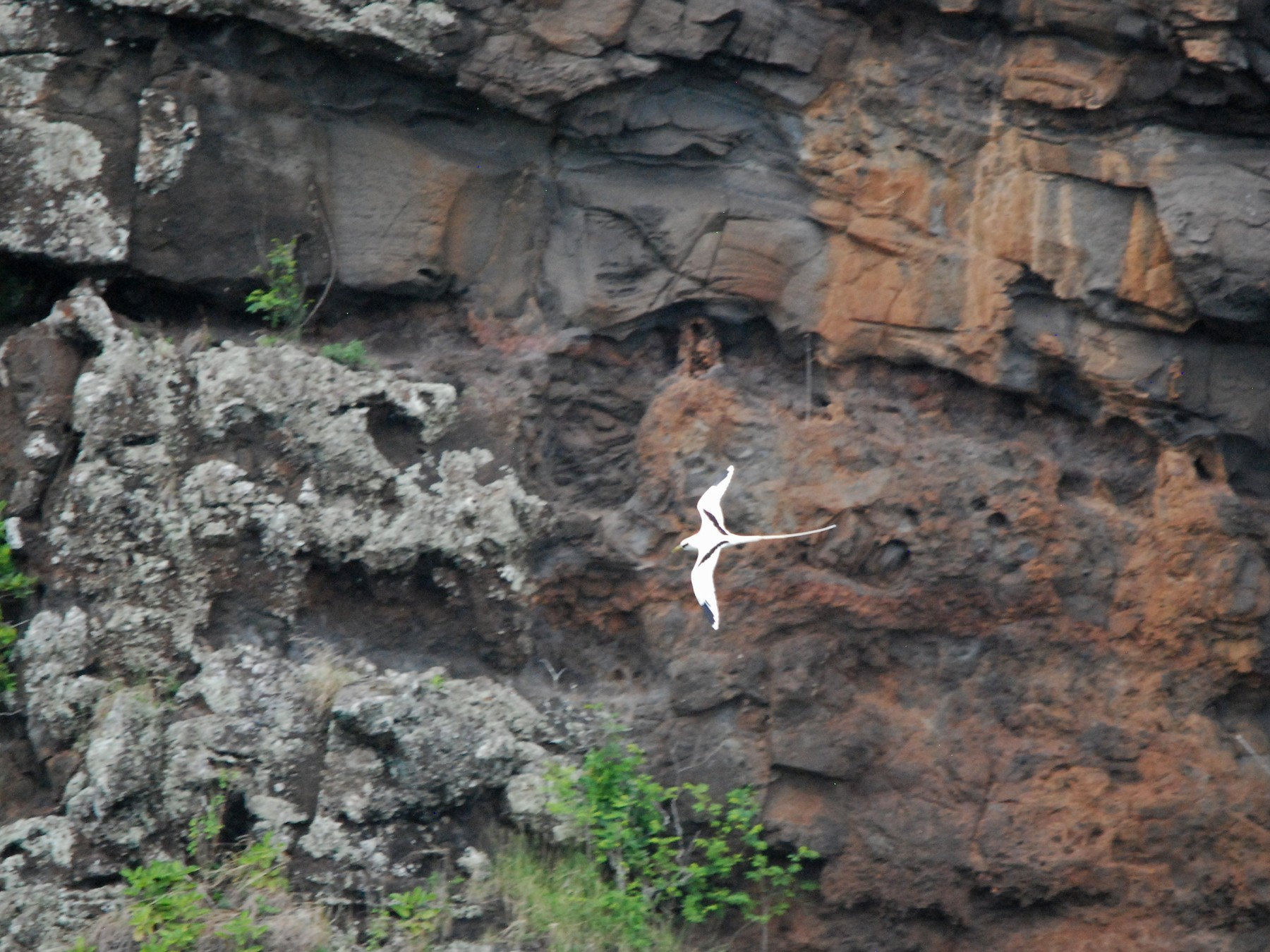 White-tailed Tropicbird - Marty O'Malley