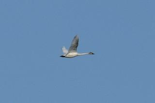 Tundra Swan, ML97710551