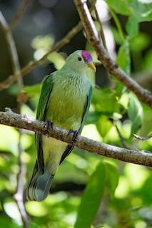 Makatea Fruit-Dove