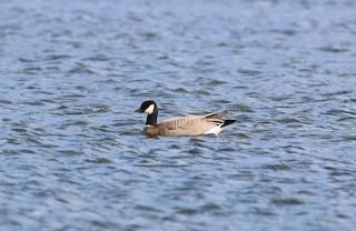 Cackling Goose (minima), ML97815271