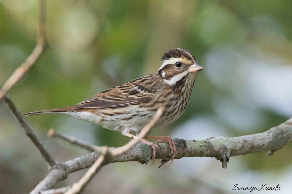 Yellow-browed Bunting ML97817831