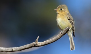 - Buff-breasted Flycatcher