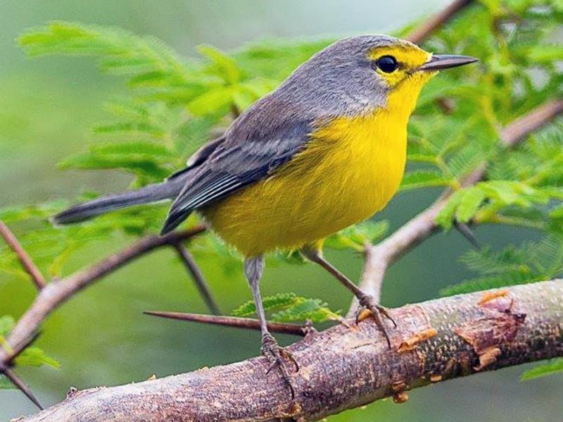 Barbuda Warbler - Frantz Delcroix (Duzont)