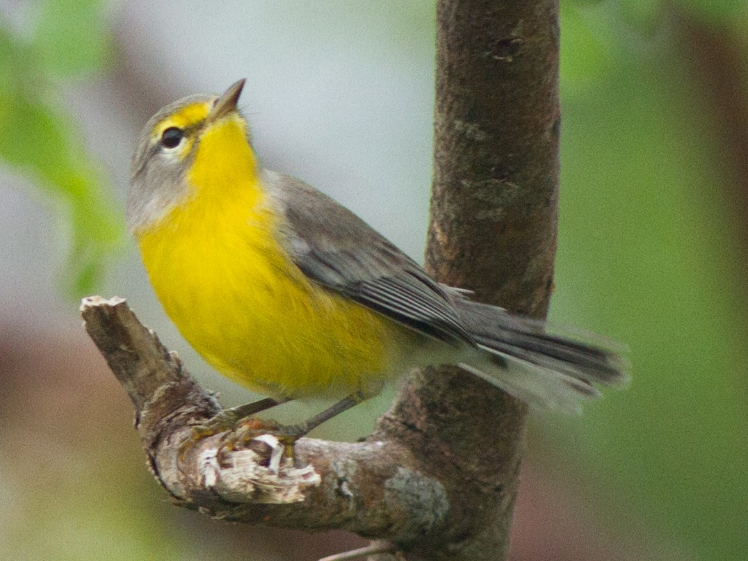 Barbuda Warbler - Jeff Gerbracht