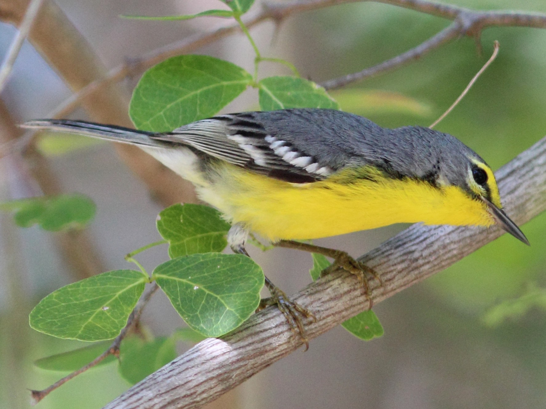 Adelaide's Warbler - Anonymous eBirder