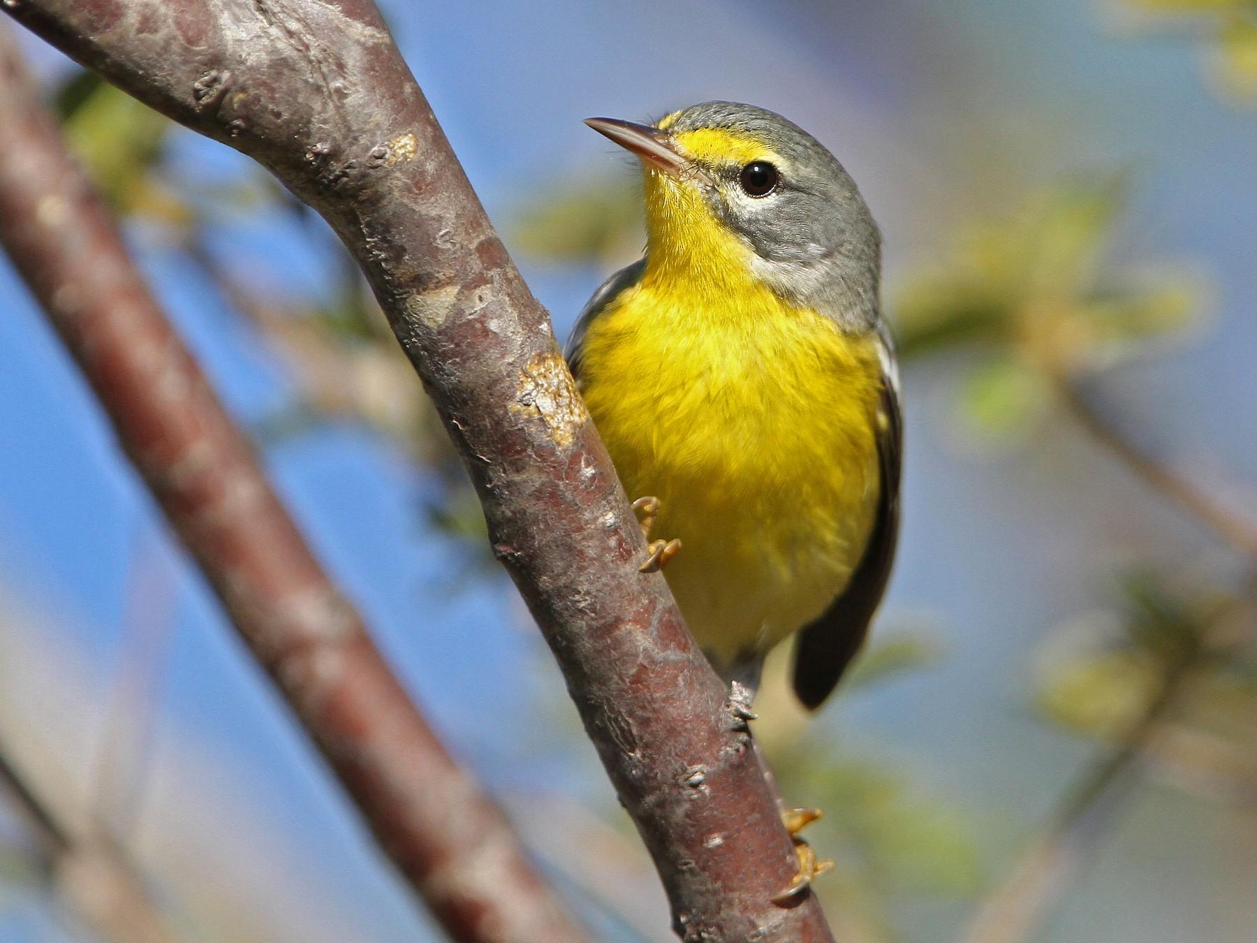 Adelaide's Warbler - Christoph Moning