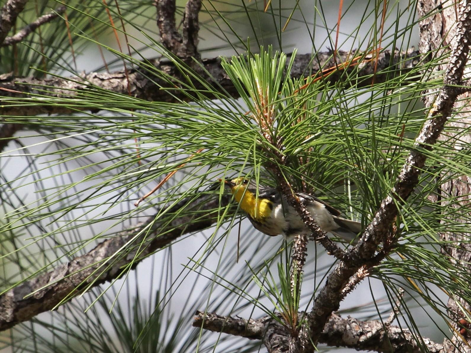 Olive-capped Warbler - John Bjorkman