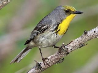 - Olive-capped Warbler