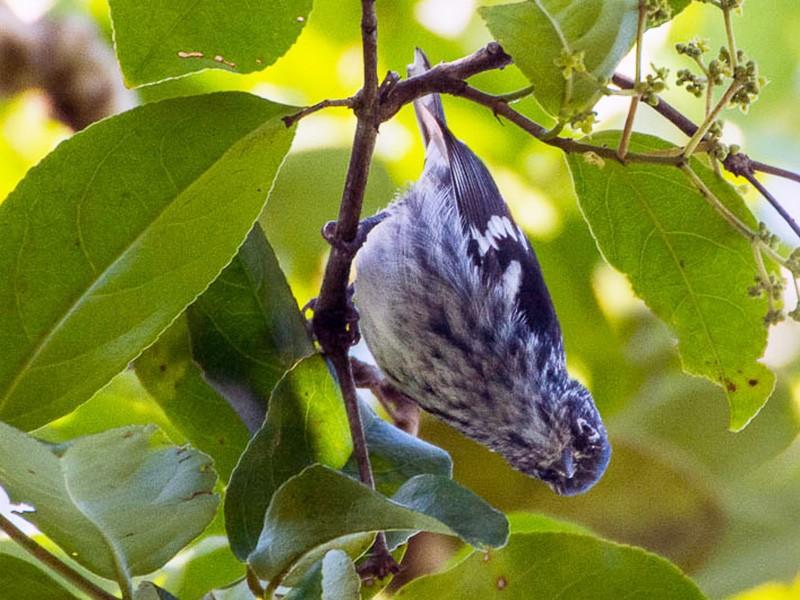Elfin-woods Warbler - Kitty Aponte