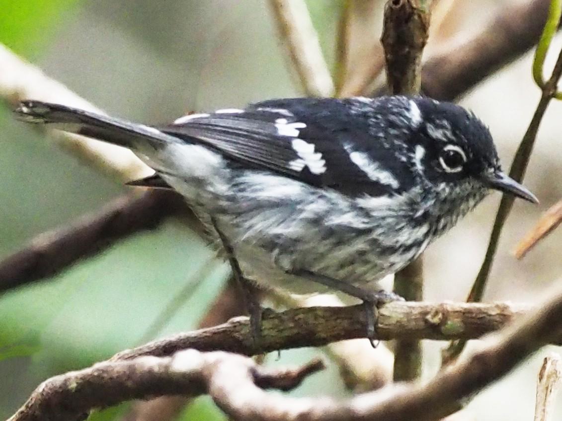 Elfin-woods Warbler - John Anderson