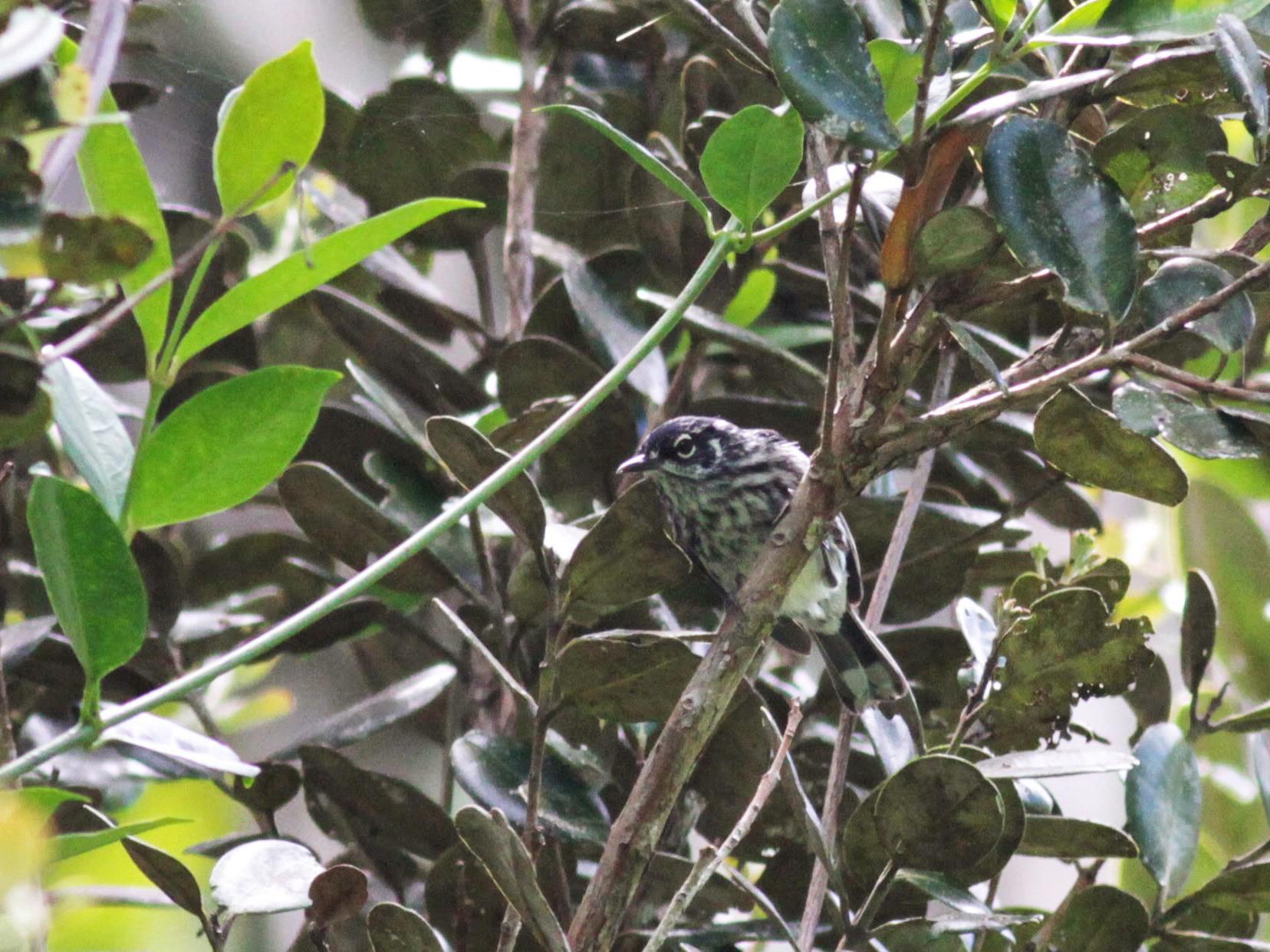 Elfin-woods Warbler - Jay McGowan