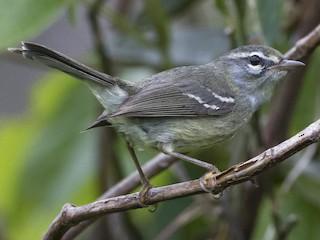 - Plumbeous Warbler