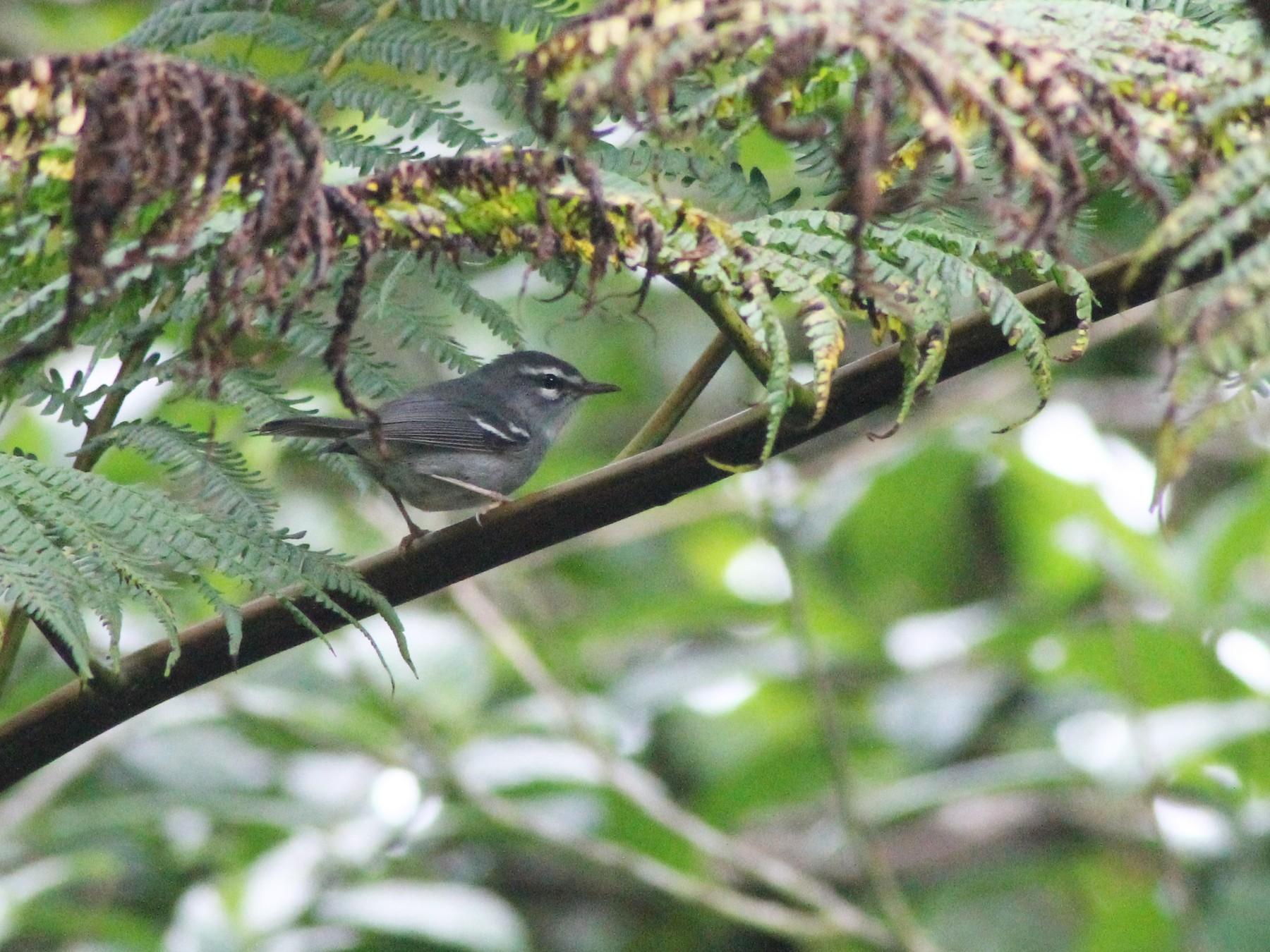 Plumbeous Warbler - Bénédicte Canal