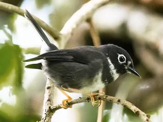 - Whistling Warbler