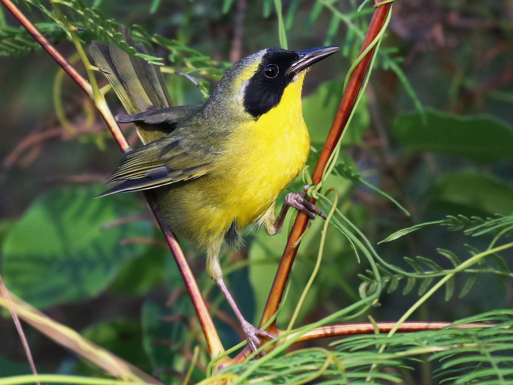 Bahama Yellowthroat - Andrew Spencer