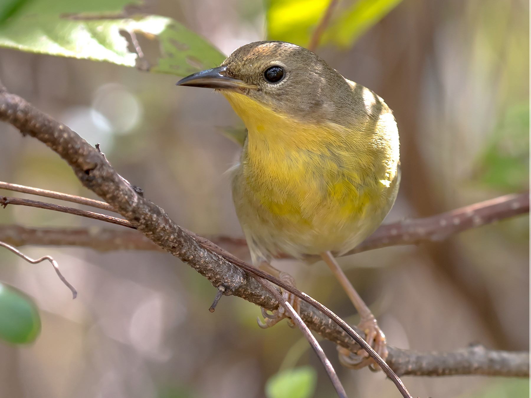 Bahama Yellowthroat - Frank Salmon