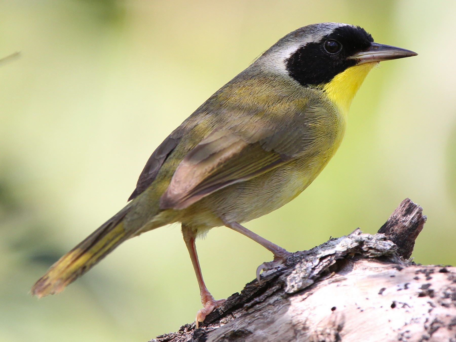 Bahama Yellowthroat - Christoph Moning
