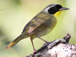 - Bahama Yellowthroat