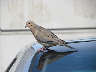 Mourning Dove, ML98244771