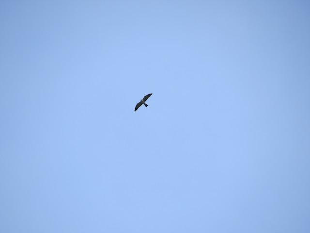 Mississippi Kite