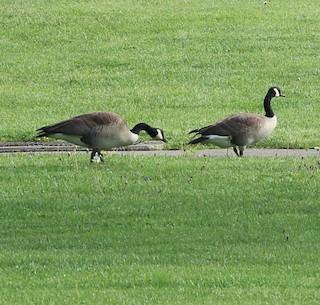 Canada Goose, ML98510641