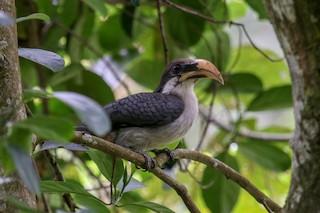 - Sri Lanka Gray Hornbill