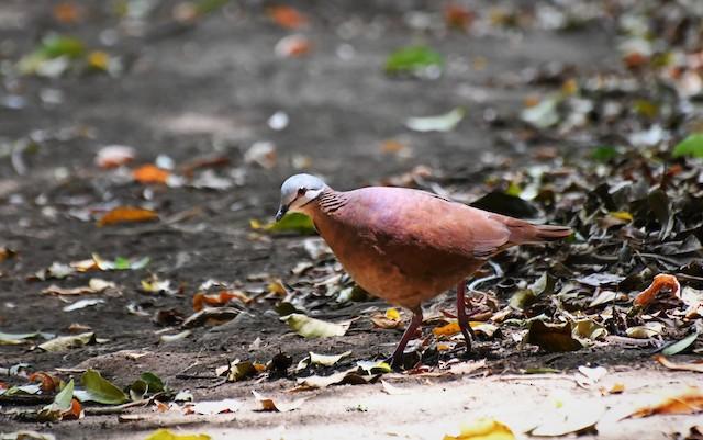 Chiriqui Quail-Dove