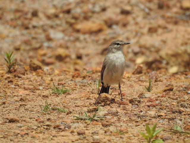 Spot-billed Ground-Tyrant