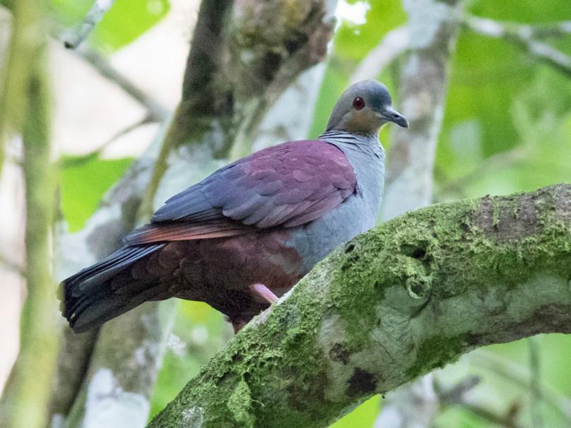 Crested Quail-Dove - Tom Johnson