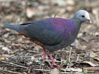 - Gray-fronted Quail-Dove