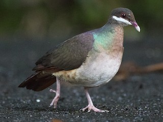 - Bridled Quail-Dove