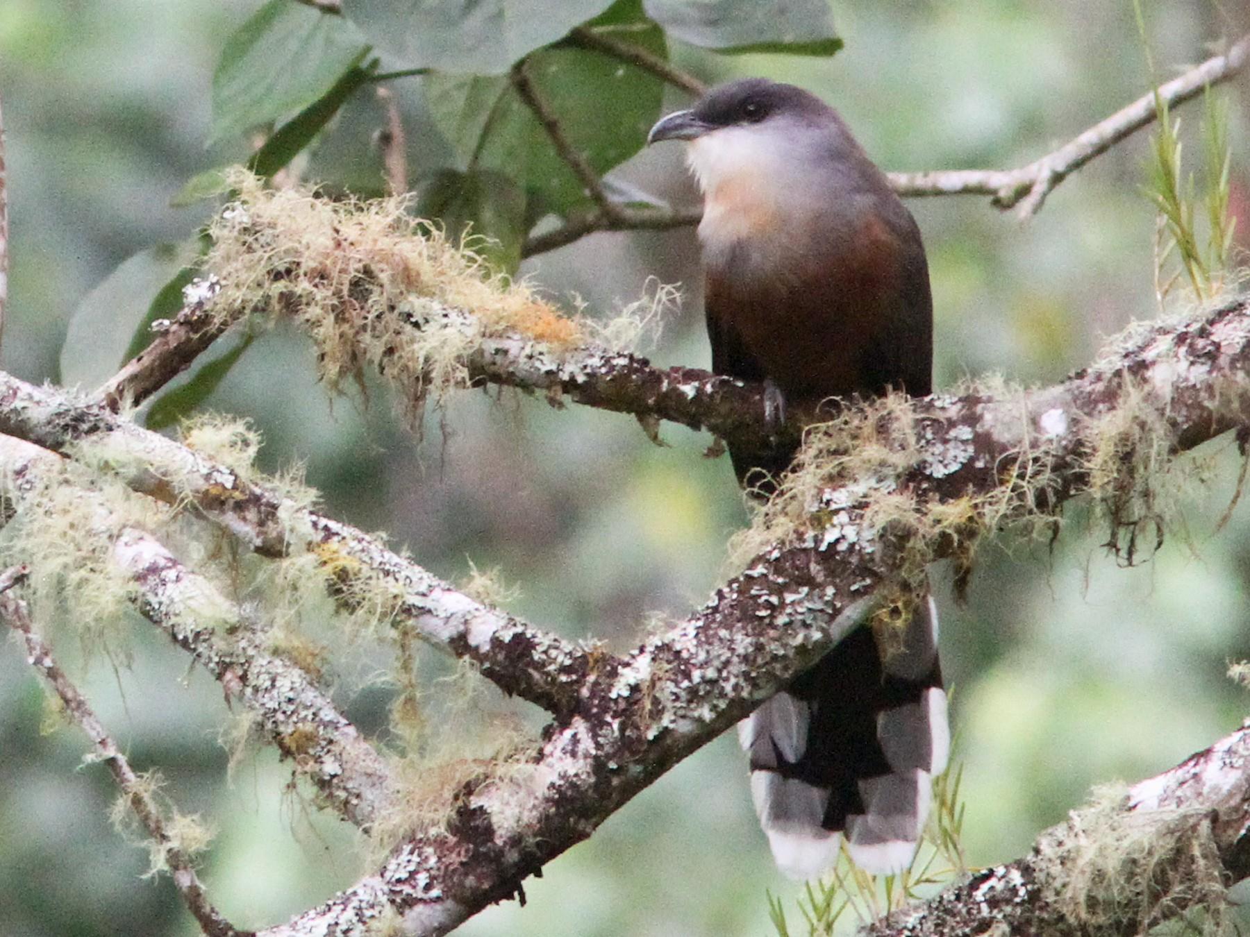 Chestnut-bellied Cuckoo - Larry Therrien