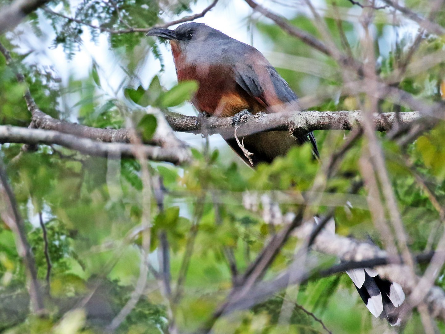 Bay-breasted Cuckoo - Andrew Spencer