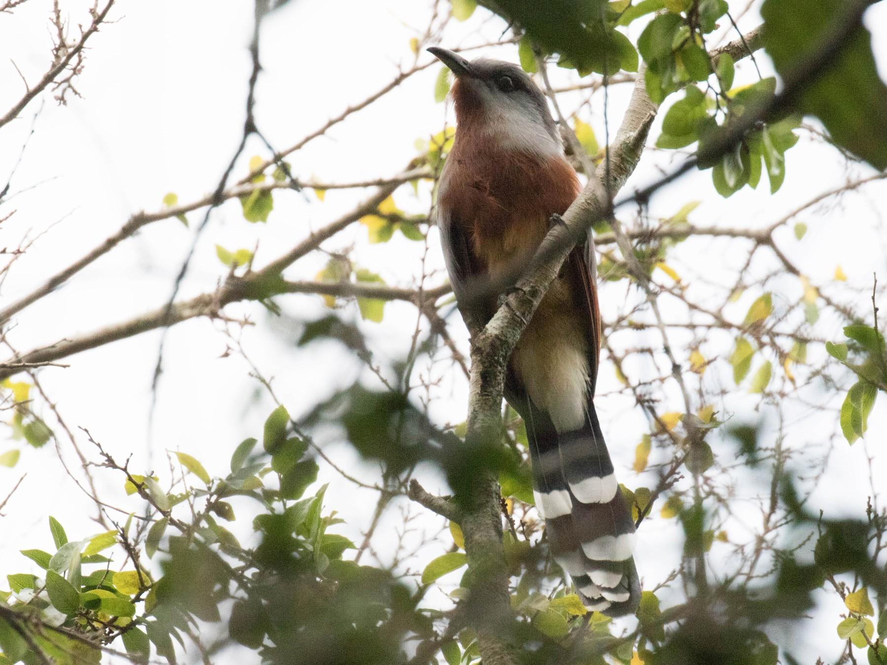 Bay-breasted Cuckoo - Ross Gallardy