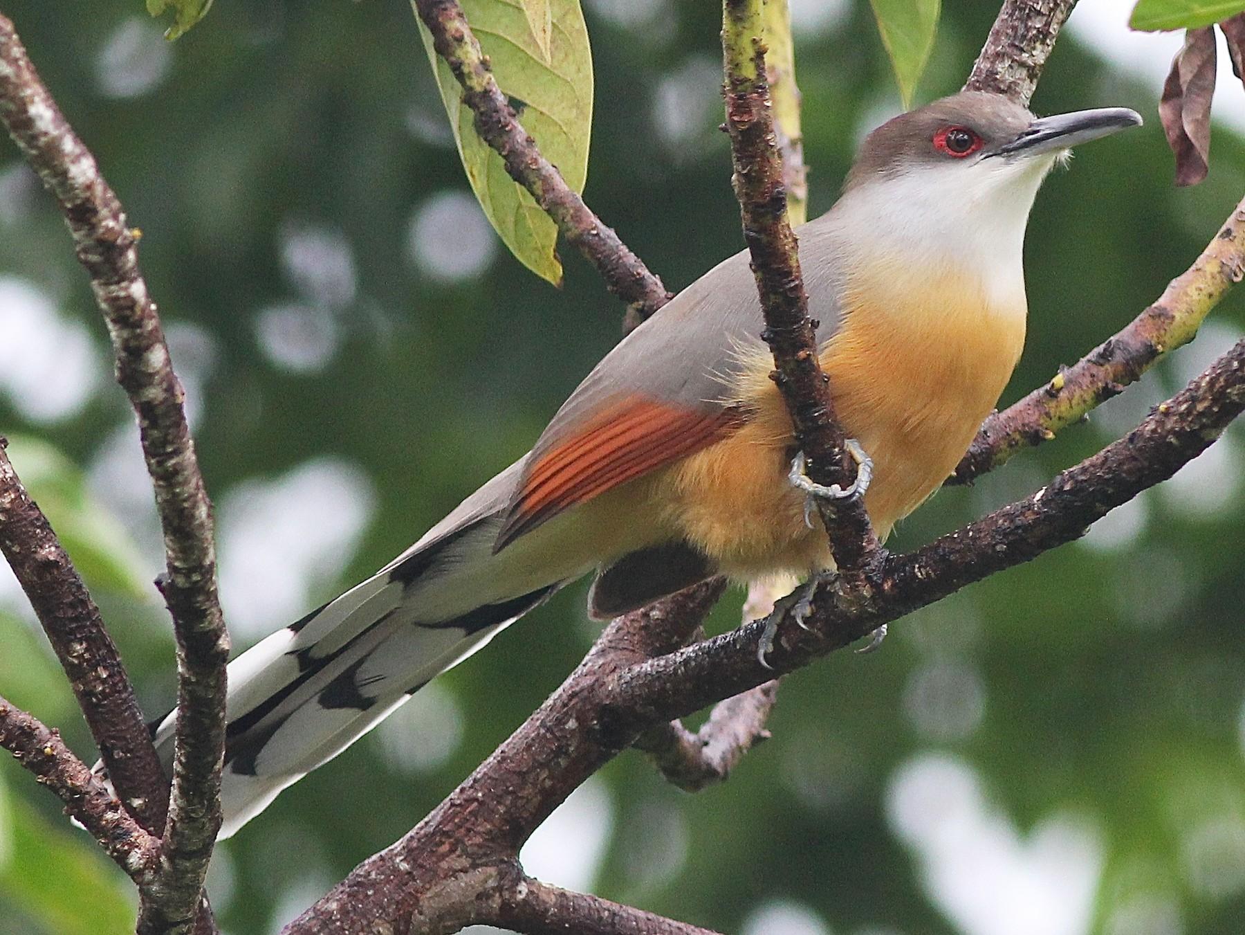 Jamaican Lizard-Cuckoo - Eric Hynes