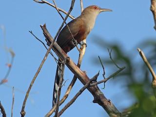- Puerto Rican Lizard-Cuckoo