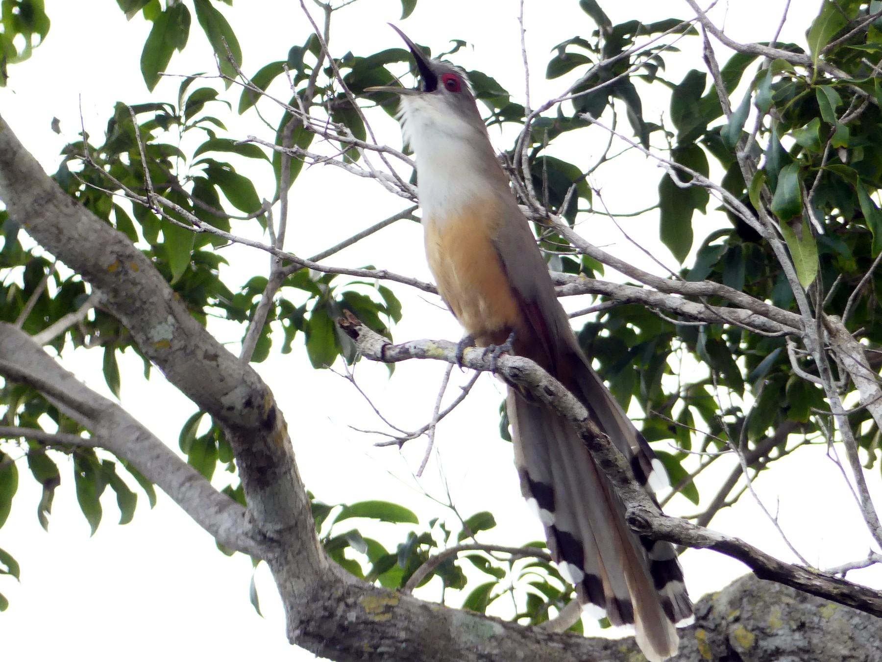 Great Lizard-Cuckoo - Peter Dunwiddie
