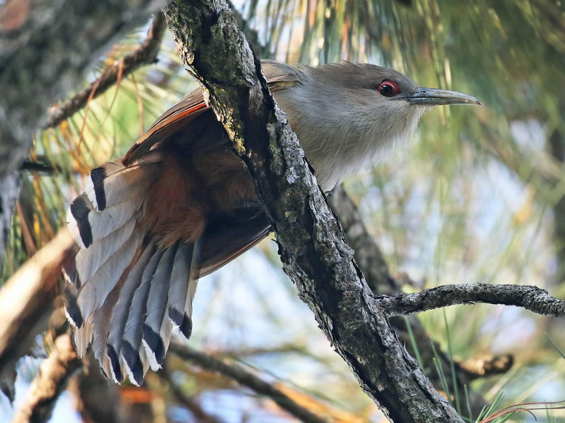 Great Lizard-Cuckoo - Andrew Spencer