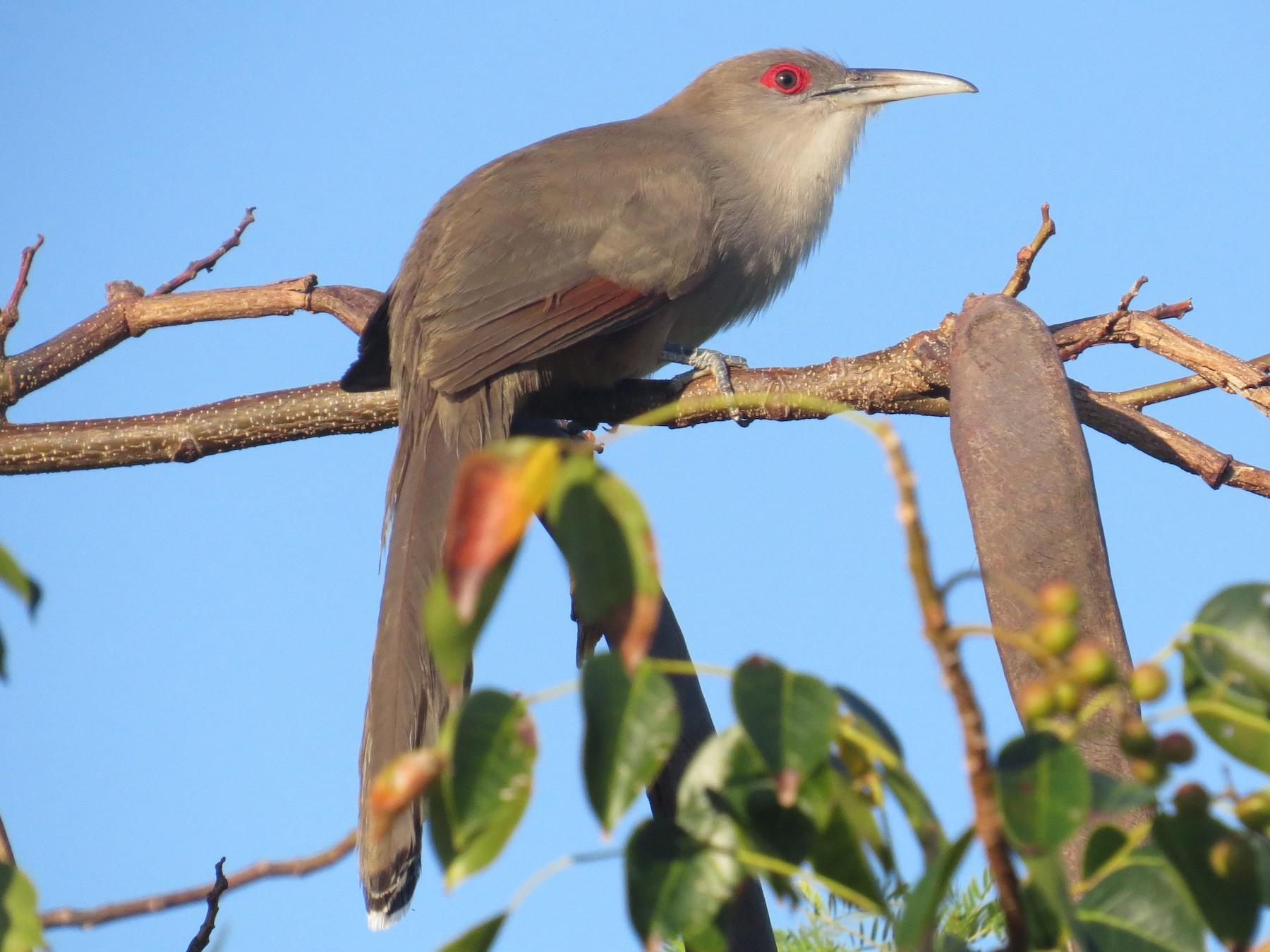 Great Lizard-Cuckoo - Carolyn Wardle