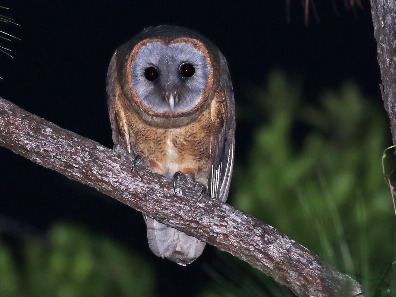 Ashy-faced Owl - Andrew Spencer